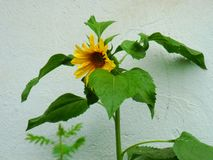 Photo of a sunflower flower with large green leaves. Against a blue wall stock photo