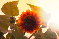 Photo of sunflower toned in retro style Royalty Free Stock Photography