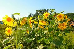 Photo of sunflowers Stock Images