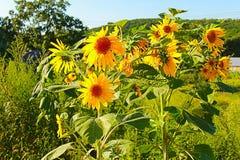 Photo of sunflowers Stock Photos