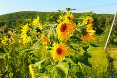 Photo of sunflowers Royalty Free Stock Image