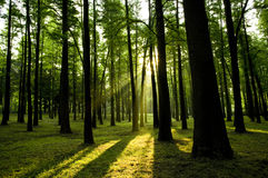 Sunrise in a forest Stock Photography