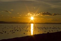 Sunset in bay with water birds. Photo of sunset scene  in bay with water birds swimming together Royalty Free Stock Photography