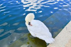 Swan Cleaning Itself. Photo of a Swan cleaning itself in Hyde Park, London, UK Royalty Free Stock Image