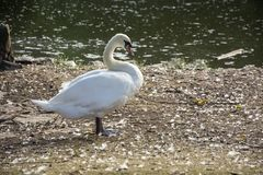 Bird 164. Photo of a swan with white colour and sunlight Stock Image