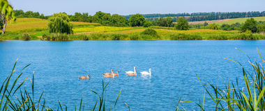 Photo of swans on the beautiful blue lake. At summer Stock Photography