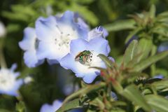 A photo of a sweat bee pollinating the flowers royalty free stock photo