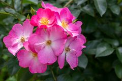 Photo of sweetbriar rose in soft focus royalty free stock image