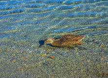 Photo of swimming teal. Royalty Free Stock Photos