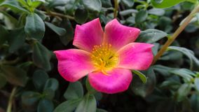 Pink flower, amidst leaves in the garden. Royalty Free Stock Photo