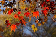 Autumn colors of maple leaves in backlit Stock Photography