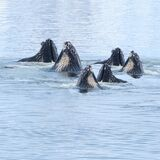 Humpback whales coming up from the ocean eating Krill.