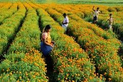 Marigol flower field