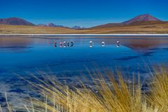 Pink Flamingos at Laguna Canapa Altiplano Bolivia Desert. Photo taken in August 2017 in Altiplano Bolivia, South America: Pink Flamingos Laguna Hedionda Royalty Free Stock Photo