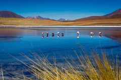 Pink Flamingos at Laguna Canapa Altiplano Bolivia Desert. Photo taken in August 2017 in Altiplano Bolivia, South America: Pink Flamingos Laguna Hedionda Stock Image