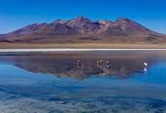 Pink Flamingos at Laguna Canapa Altiplano Bolivia Desert. Photo taken in August 2017 in Altiplano Bolivia, South America: Pink Flamingos Laguna Hedionda Royalty Free Stock Image