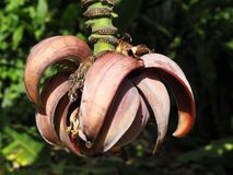 The banana flower after the birth of bananas stock photos
