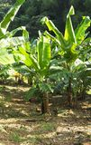 Small rooster walking in the middle of a banana crop to the Martinique stock image