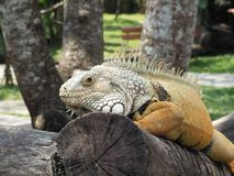 Iguana on a tree branch, in a park on the island of Bali, Indonesia stock photography