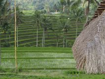 Rice terraced and thatched roof of a shed in Bali, IndonesiaPhoto taken in August 2018 in a rice field above the city of Ubud. The royalty free stock photography