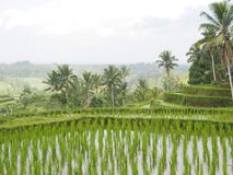 Detail of rice plants from a rice terrace in Bali, Indonesia. Photo taken in August 2018 in the rice fields above the city of Ubud. The water stagnates in the royalty free stock photography