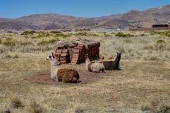 Alpacas in Tiwanaku Bolivia stock photography