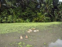 Rice paddy, palm forest and little ducks head into the water on the central plateaus of Bali. stock photography