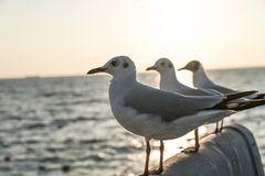 Three seagulls facing the same direction Royalty Free Stock Photography