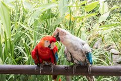 Lovely Couple of Macaws in South America. royalty free stock photography