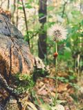 Old dandelion with ladybug and greenflies stock photo