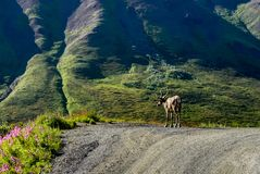 Caribou standing on Street in Denali National Park in Alaska Uni stock photography