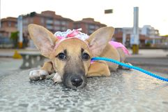 Pretty little dog that does not want to walk royalty free stock image
