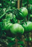 Tomatoes grow in a greenhouse royalty free stock photography