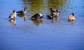 The ducks bathe in the water. Photo taken in the fall of 2017 in a river near my home. The ducks had fun in the water. Quebec, Canada Stock Images