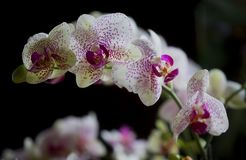 A butterfly-shaped orchid royalty free stock photos