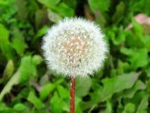 Fluffy dandelion stock photos