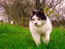 A cat walks in the grass. Photo taken on my land, my cat likes to walk in the new lawn. He follows me in my travels. Drummondville, Quebec, Canada; May 6, 2017 Royalty Free Stock Photos