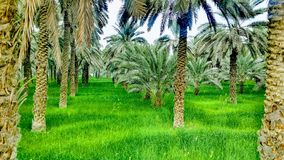 Dates palm with beauty royalty free stock photography