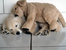 After a good day of discoveries and nonsense, the little puppy sleeps with his blanket royalty free stock photography