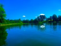 Beuthiful swan on the blue lake stock photography