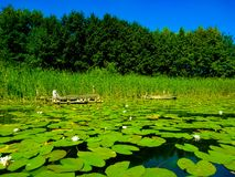 A lots of lilies on the crystal water stock image