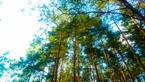Tall trees in the forest royalty free stock photos