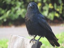 Closeup of crow posing for camera on a park bench in autumn royalty free stock photography