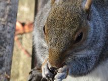 Closeup of squirrel posing on park bench eating peanut in autumn royalty free stock photos