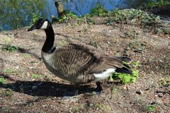 Guinea goose near the river Royalty Free Stock Photography