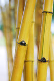 Yellow Bamboo Royalty Free Stock Photo