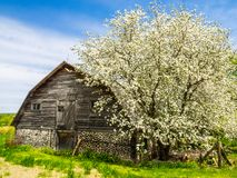 A barn near a beautiful flowering tree. Photo taken in spring 2017 in the Quebec countryside. Drummondville, Canada Royalty Free Stock Photo