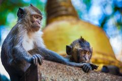 Monkeys observe the behavior of another monkey clan, before the. Photo taken in the tropical forest Royalty Free Stock Images