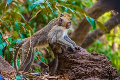 Monkeys observe the behavior of another monkey clan, before the. Photo taken in the tropical forest Royalty Free Stock Photo