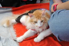 A white long haired cat wearing cat clothing laying by its owner`s side Stock Images
